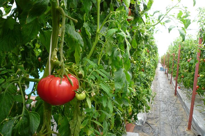 マザー牧場 トマト狩り