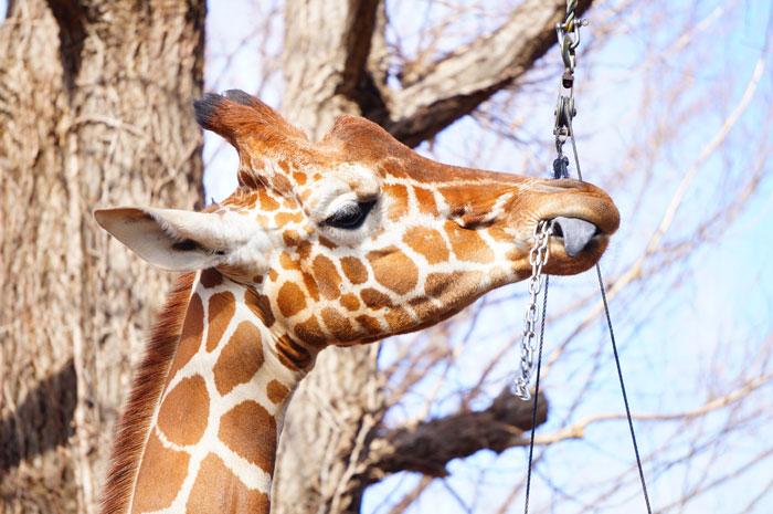 上野動物園 きりん