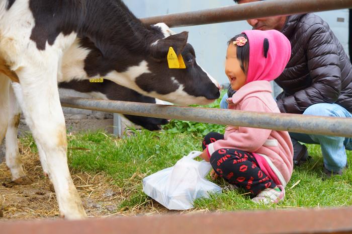 マザー牧場 子牛
