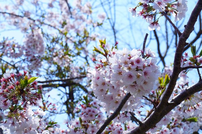 山梨 本栖湖 桜 4月下旬