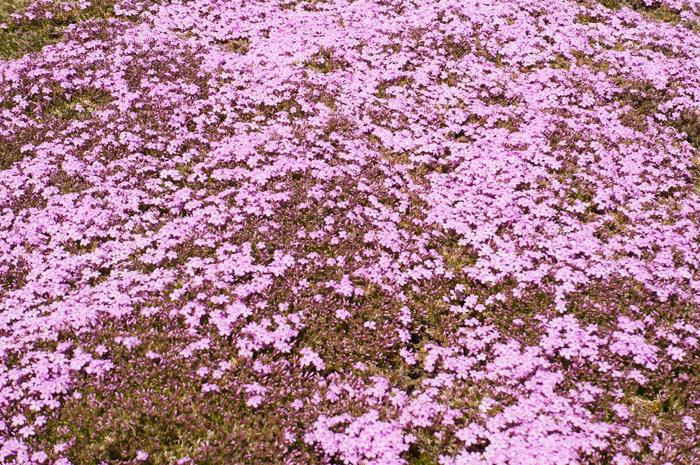 本栖湖 富士山 山梨 富士芝桜まつり 本栖湖 富士山 山梨 富士芝桜まつり 咲き始め