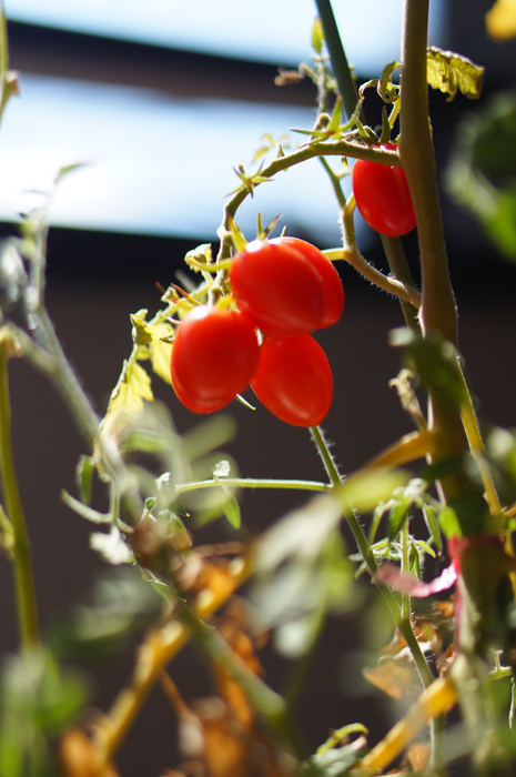 プチトマト 収穫 ベランダ菜園