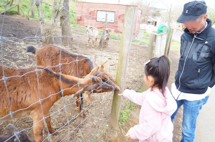 マザー牧場 ヤギ えさやり