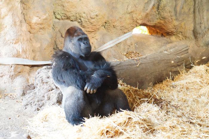 動物園 ゴリラ